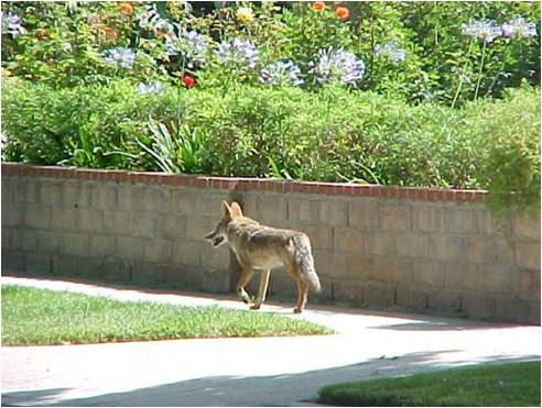 Coyote Neighborhood